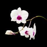όμορφο λευκό dendrobium Στοκ εικόνα με δικαίωμα ελεύθερης χρήσης