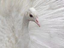 όμορφο λευκό peacock Στοκ φωτογραφίες με δικαίωμα ελεύθερης χρήσης