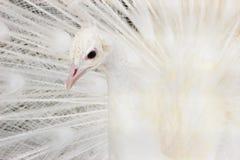 όμορφο λευκό peacock Στοκ εικόνα με δικαίωμα ελεύθερης χρήσης