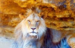 Όμορφο λιοντάρι που στηρίζεται στην ηλιοφάνεια η ανασκόπηση διασταυρώνει τη δύσκολη δομή πετρών βράχου Στοκ φωτογραφία με δικαίωμα ελεύθερης χρήσης