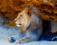 Όμορφο λιοντάρι που στηρίζεται στην ηλιοφάνεια η ανασκόπηση διασταυρώνει τη δύσκολη δομή πετρών βράχου Στοκ Εικόνα