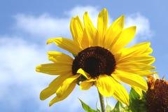 Όμορφο λουλούδι ήλιων με το μπλε ουρανό στοκ φωτογραφία με δικαίωμα ελεύθερης χρήσης
