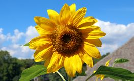 Όμορφο λουλούδι ηλίανθων κίτρινο και πράσινο στο υπόβαθρο κατά τη διάρκεια του καλοκαιριού στο Μίτσιγκαν Στοκ εικόνες με δικαίωμα ελεύθερης χρήσης