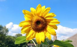 Όμορφο λουλούδι ηλίανθων κίτρινο και πράσινο στο υπόβαθρο κατά τη διάρκεια του καλοκαιριού στο Μίτσιγκαν Στοκ Εικόνα