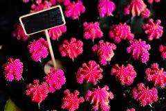 Όμορφο λουλούδι κάκτων ανθών ρόδινο με τον πλαισιωμένο πίνακα κενό για το υπόβαθρο γραψίματος λέξης κειμένων στοκ φωτογραφία
