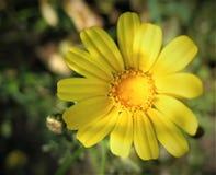 όμορφο λουλούδι κίτρινο στοκ εικόνες με δικαίωμα ελεύθερης χρήσης