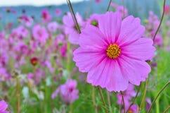 Όμορφο λουλούδι κόσμου στοκ φωτογραφία