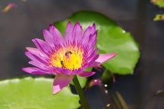 Όμορφο λουλούδι λωτού στη λίμνη Στοκ φωτογραφίες με δικαίωμα ελεύθερης χρήσης