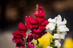 Όμορφο λουλούδι με το μίγμα άσπρος και κόκκινος στοκ φωτογραφία με δικαίωμα ελεύθερης χρήσης