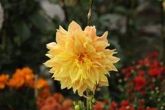Όμορφο λουλούδι νταλιών στον κήπο στοκ φωτογραφίες με δικαίωμα ελεύθερης χρήσης