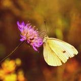 όμορφο λουλούδι πεταλούδων Φυσική ζωηρόχρωμη ανασκόπηση Pieris Brassicae Στοκ εικόνες με δικαίωμα ελεύθερης χρήσης
