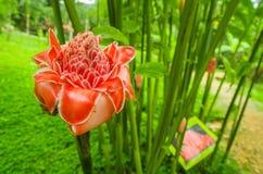 Όμορφο λουλούδι που βρίσκεται σε έναν κήπο σε Mindo, Ισημερινός στοκ εικόνες