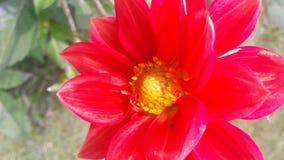 Όμορφο λουλούδι στο κόκκινο χρώμα στοκ φωτογραφίες
