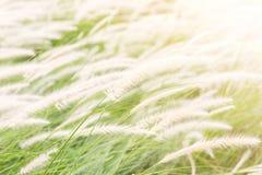 Όμορφο λουλούδι χλόης (poaceae), φυσικά όμορφα λουλούδια μέσα Στοκ Φωτογραφίες