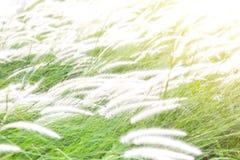 Όμορφο λουλούδι χλόης (poaceae), φυσικά όμορφα λουλούδια μέσα Στοκ φωτογραφία με δικαίωμα ελεύθερης χρήσης
