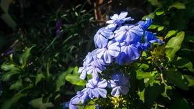 Όμορφο λουλούδι aurculata plumbago με ένα όμορφο υπόβαθρο και σωστά χτυπημένος με ένα σωστό σημείο εστίασης στοκ φωτογραφίες
