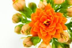 Όμορφο λουλούδι blossfeldiana kalanchoe που απομονώνεται στοκ φωτογραφία