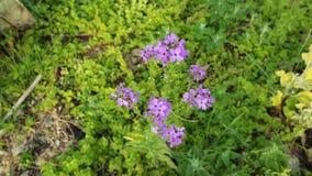 Όμορφο λουλούδι hesperis στο βοτανικό κήπο απόθεμα βίντεο