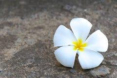 Όμορφο λουλούδι plumeria στην Ταϊλάνδη, το υπόβαθρο και τη σύσταση ST Στοκ φωτογραφίες με δικαίωμα ελεύθερης χρήσης