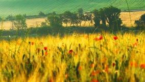 Όμορφο λοφώδες τοπίο του πράσινου Tuscan τομέα με τα κόκκινα λουλούδια κουταβιών απόθεμα βίντεο