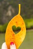 Όμορφο μάγκο φύλλων καρδιών κίτρινο Στοκ Φωτογραφία