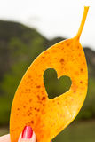 Όμορφο μάγκο φύλλων καρδιών κίτρινο Στοκ Εικόνες