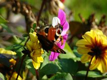 Όμορφο μάτι Peacock πεταλούδων Στοκ εικόνες με δικαίωμα ελεύθερης χρήσης