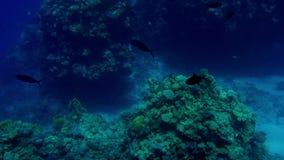 Όμορφο μήκος σε πόδηα 4k των μερών των ψαριών που κολυμπούν γύρω από την κοραλλιογενή ύφαλο στον πυθμένα της θάλασσας Καταπληκτικ απόθεμα βίντεο