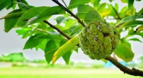 Όμορφο μήλο κρέμας Στοκ εικόνες με δικαίωμα ελεύθερης χρήσης