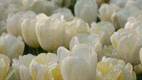 Όμορφο μίγμα των άσπρων τουλιπών στο παγκοσμίως διάσημο βασιλικό πάρκο Keukenhof Στενή άποψη Κάτω Χώρες, Ολλανδία τομέων τουλιπών απόθεμα βίντεο