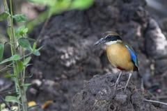 Όμορφο μαγγρόβιο Pitta πουλιών στις άγρια περιοχές Στοκ Φωτογραφίες