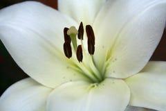 όμορφο μακρο λευκό κρίνων Στοκ Εικόνες