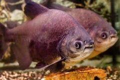 Όμορφο μαύρο pacu ψαριών ενυδρείων Στοκ Εικόνες