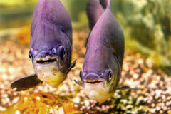 Όμορφο μαύρο pacu ψαριών ενυδρείων Στοκ Φωτογραφίες