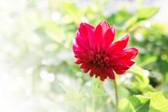 Όμορφο μεγάλο πορφυρό λουλούδι στο πράσινο θολωμένο υπόβαθρο Στοκ Φωτογραφία