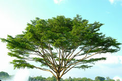 Όμορφο μεγάλο δέντρο Στοκ Φωτογραφία
