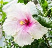 Όμορφο μεγάλο hibiscus λουλούδι, φυσική σκηνή Στοκ εικόνες με δικαίωμα ελεύθερης χρήσης
