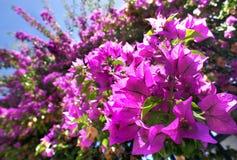 Όμορφο μεσογειακό πεζούλι με τα ρόδινα λουλούδια Στοκ Φωτογραφίες