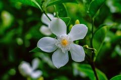Όμορφο μικρό άσπρο λουλούδι στον κήπο Στοκ Εικόνες
