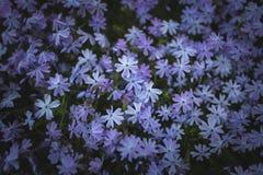 όμορφο μικρό subulata λουλουδιών phlox Στοκ Εικόνες