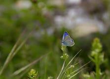 όμορφο μπλε διάνυσμα απεικόνισης πεταλούδων Στοκ φωτογραφία με δικαίωμα ελεύθερης χρήσης