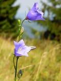 Όμορφο μπλε κουδούνι-λουλούδι Στοκ Φωτογραφίες