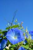 όμορφο μπλε λουλούδι Στοκ Εικόνα