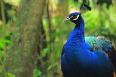 όμορφο μπλε peacock στοκ εικόνες