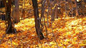 Όμορφο μυστήριο δάσος με το κίτρινο φύλλωμα που βρίσκεται σε ένα έδαφος φιλμ μικρού μήκους