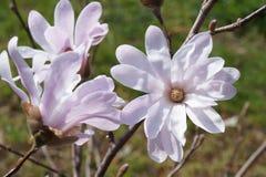 Όμορφο μωβ magnolia στοκ εικόνα με δικαίωμα ελεύθερης χρήσης