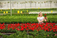 Όμορφο νέο χαμογελώντας κορίτσι, εργαζόμενος με τα λουλούδια στο θερμοκήπιο Εργασία έννοιας στο θερμοκήπιο, λουλούδια r στοκ εικόνες