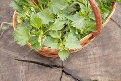 Όμορφο νέο nettle άνοιξη Φρέσκα nettle φύλλα για τη σαλάτα ή το τσάι στοκ φωτογραφία με δικαίωμα ελεύθερης χρήσης
