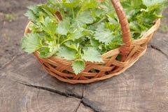 Όμορφο νέο nettle άνοιξη Φρέσκα nettle φύλλα για τη σαλάτα ή το τσάι στοκ φωτογραφίες