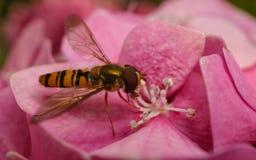 Όμορφο να ταΐσει Hoverfly με ένα ρόδινο λουλούδι Στοκ φωτογραφίες με δικαίωμα ελεύθερης χρήσης